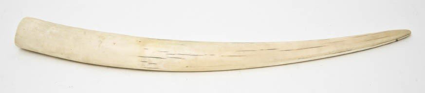 389: A Walrus Tusk, Length 21 1/8 inches.