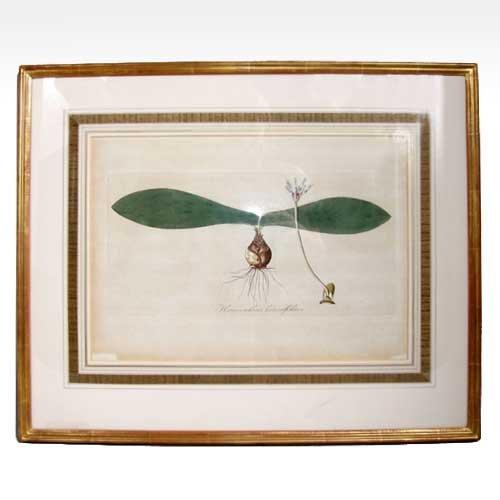 567: A Botanical Engraving of Haemanthus Pauculifolius,