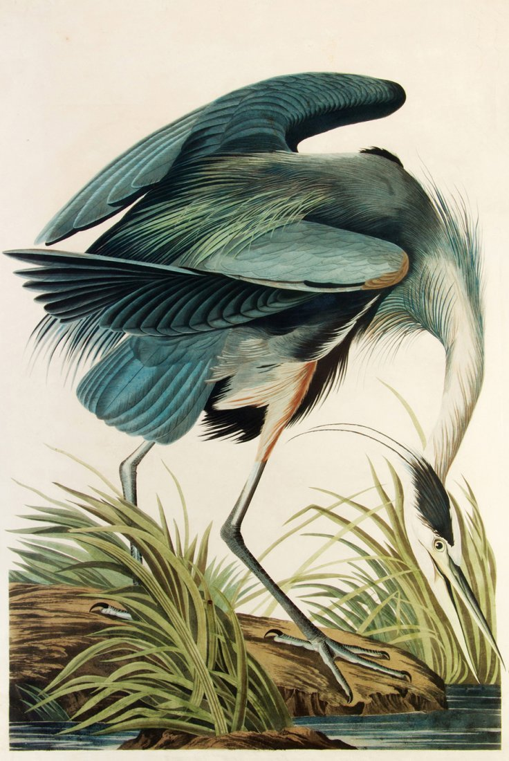 Audubon. Havell. The Great Blue Heron. Plate CCXI, no.