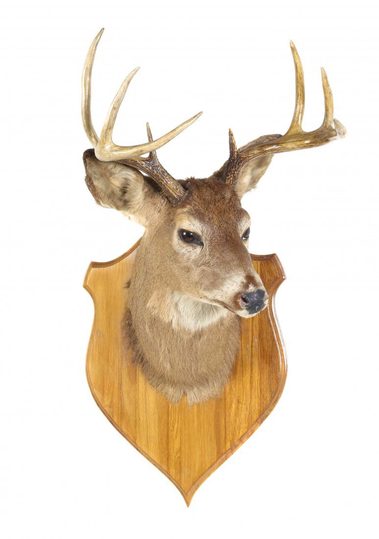A Taxidermy Neck Mount of a Whitetail Deer Stag. Length