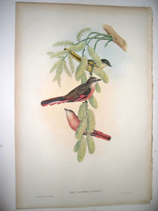 1005: Birds of Asia by John Gould