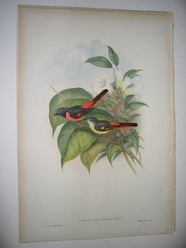 1006: Birds of Asia by John Gould