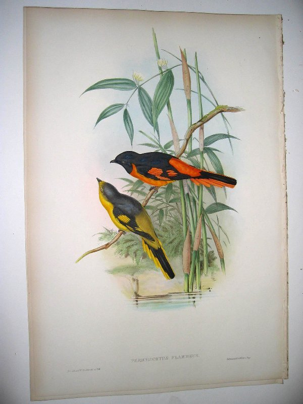 1007: Birds of Asia by John Gould