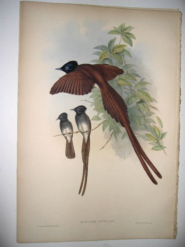 1016: Birds of Asia by John Gould