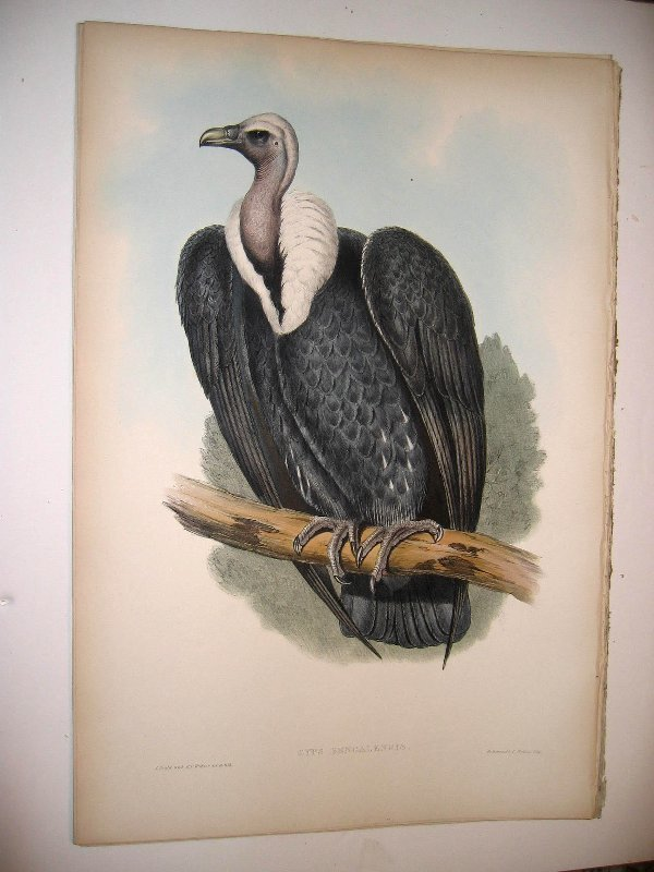 1018: Birds of Asia by John Gould