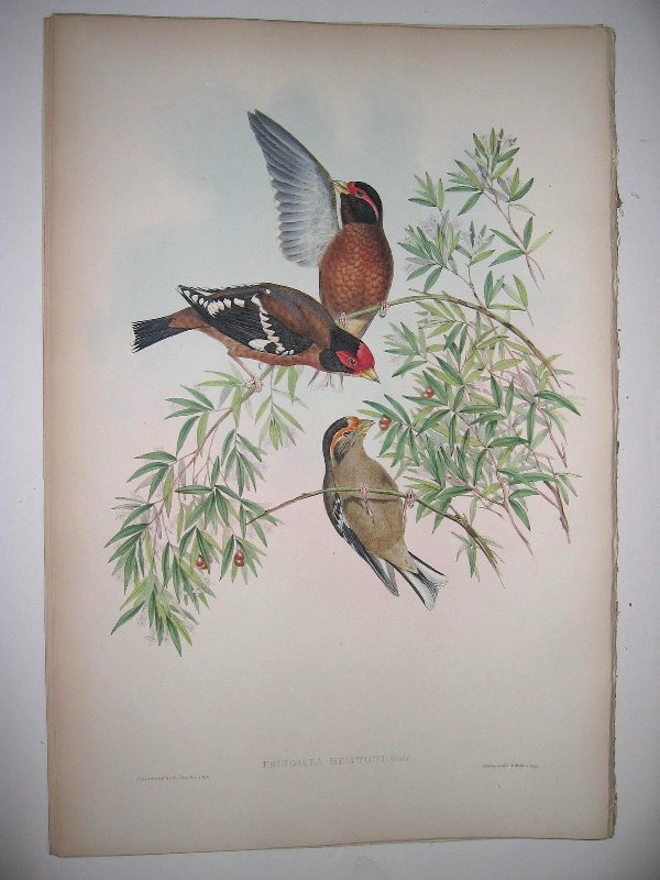 1022: Birds of Asia by John Gould