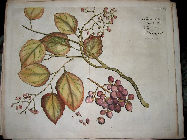 2005: hand color engravings of botanicals