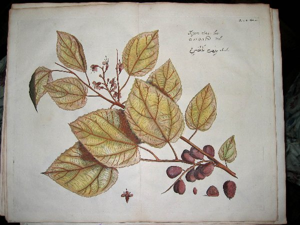 2006: hand color engravings of botanicals