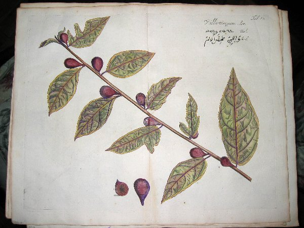 2008: hand color engravings of botanicals