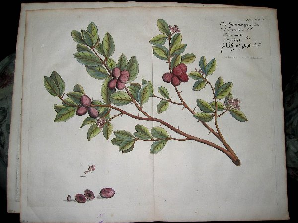 2011: hand color engravings of botanicals