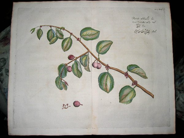 2012: hand color engravings of botanicals