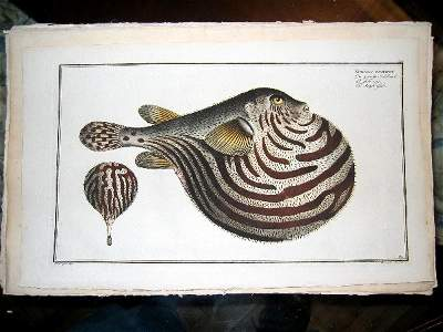 2032: hand colored engravings of tropical fis