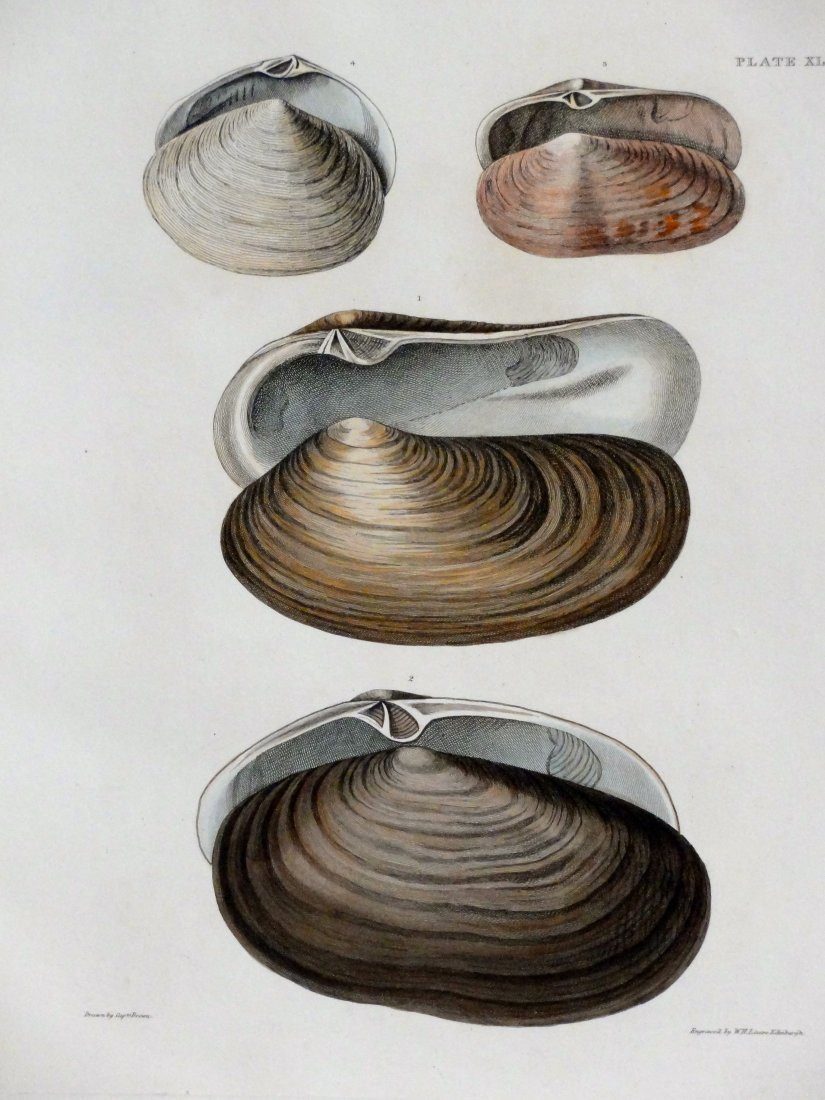 Surf Clams, 1844