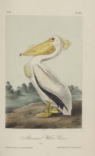 2032019: AUDUBON, JOHN JAMES. The Birds of America, fro