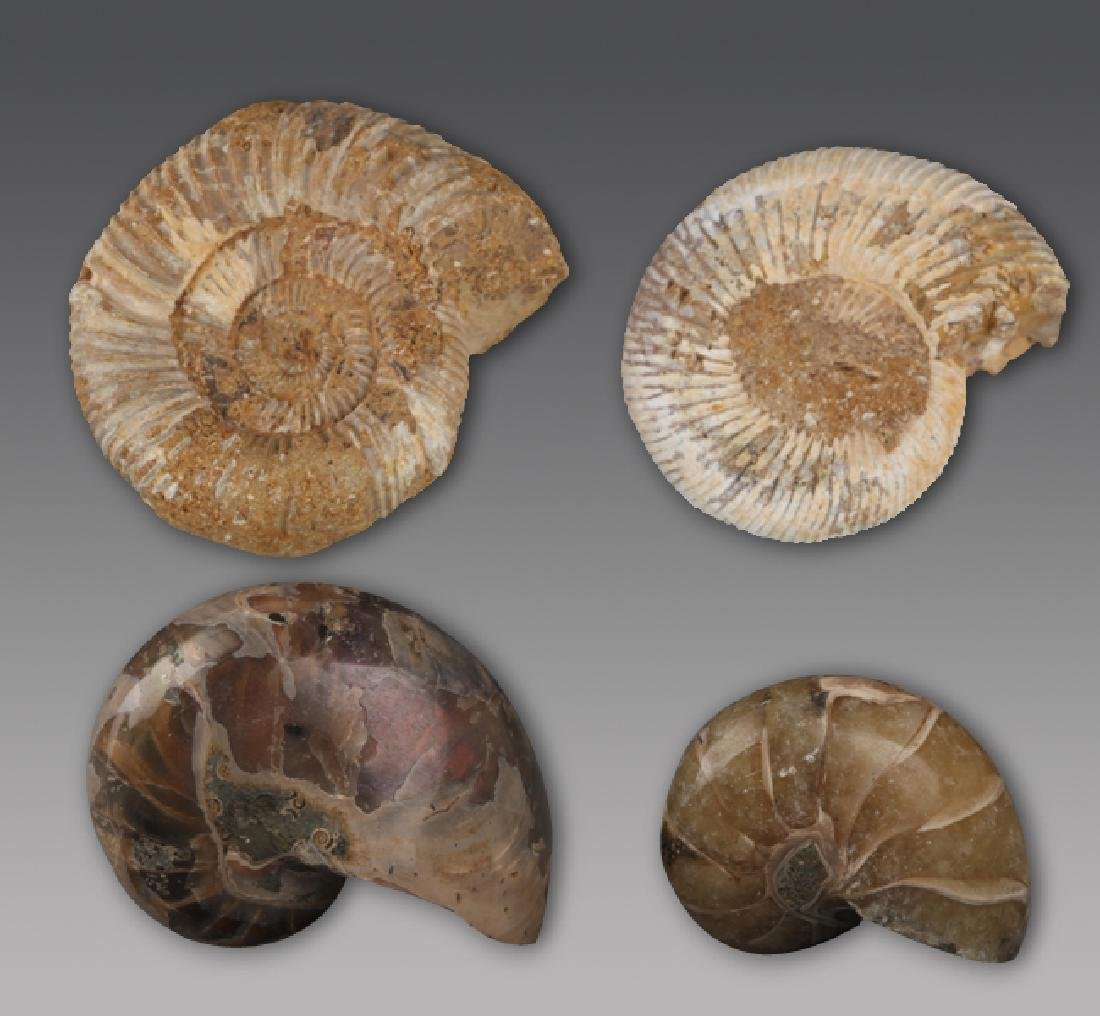 A GROUP OF EIGHT PREHISTORY NAUTILUS FOSSIL