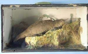Cased stuffed and mounted duck-billed pl