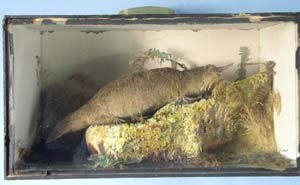 357: Cased stuffed and mounted duck-billed pl