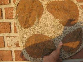 4 Genuine Fossil Trilobites, 6-8 In., 520-250 Million