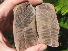 Petrified Ferns Plant Fossil
