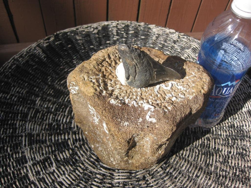 Fossil Whale Vertebrae and Megalodon shark tooth - 3