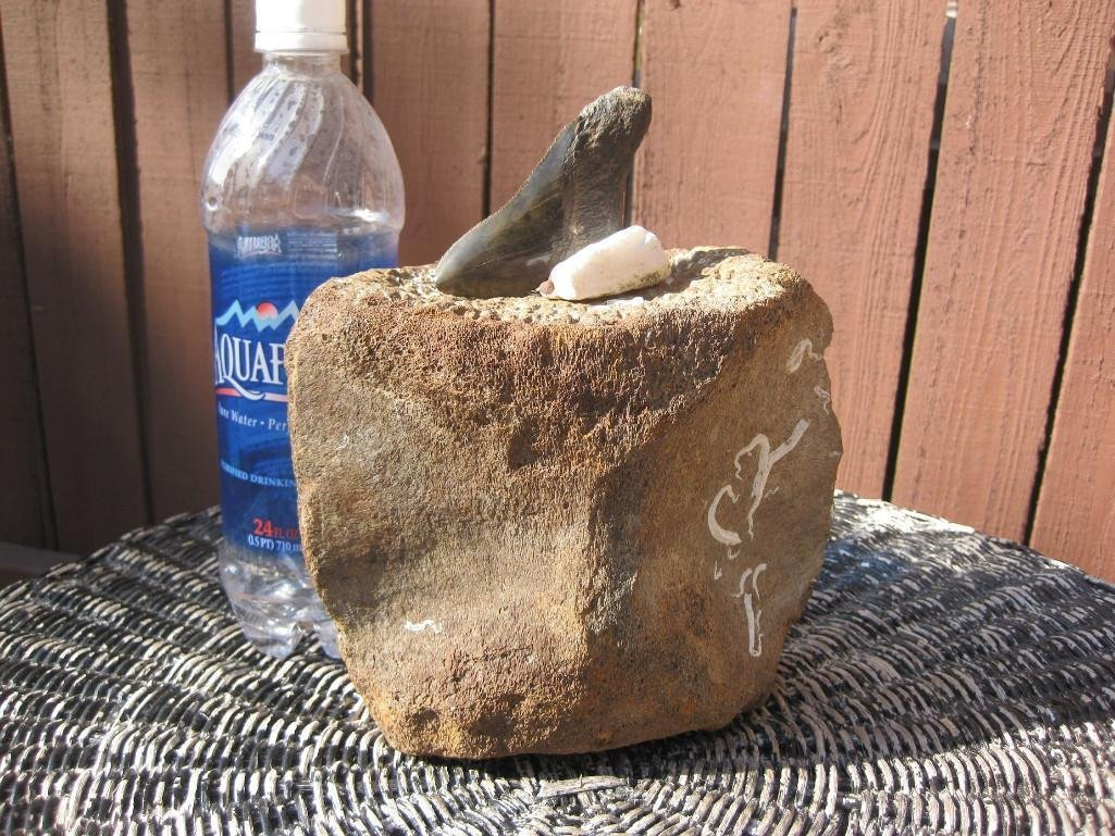 Fossil Whale Vertebrae and Megalodon shark tooth - 6