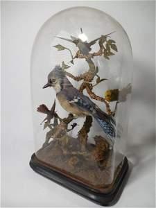 Rare Victorian Taxidermy Birds Under Glass Dome