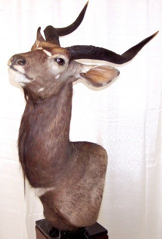 *NYALA-ANTELOPE SHOULDER MOUNT - 2