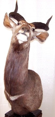 *NYALA-ANTELOPE SHOULDER MOUNT - 3