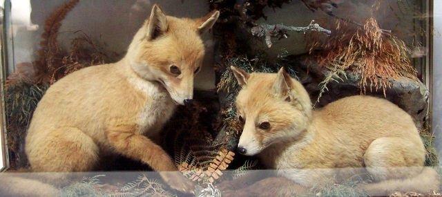 *PAIR OF FOX CUBS - 2