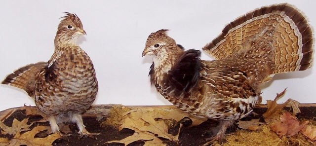 *PAIR OF GROUSE MOUNTS - 3