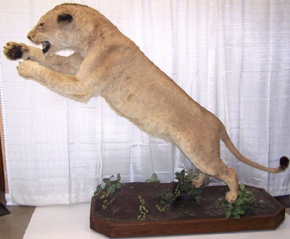 *FULL MOUNT LUNGING AFRICAN FEMALE LION