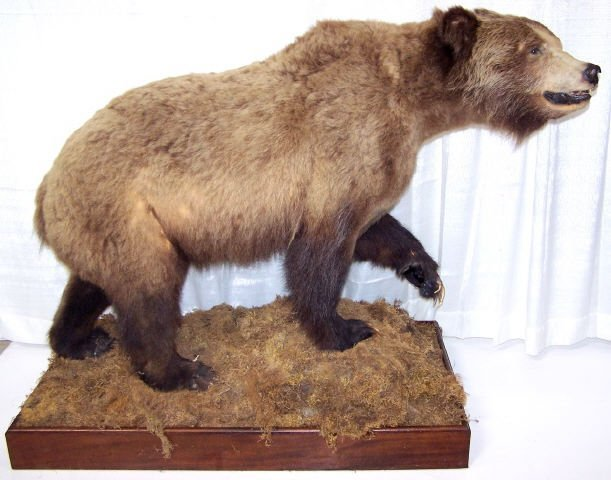 *FULL MOUNT GRIZZLY BEAR