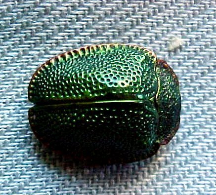 Loose Fossilized Scarab Beetle
