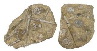 (2) LARGE AMMONITE & ORTHOCERAS FOSSIL PLATES