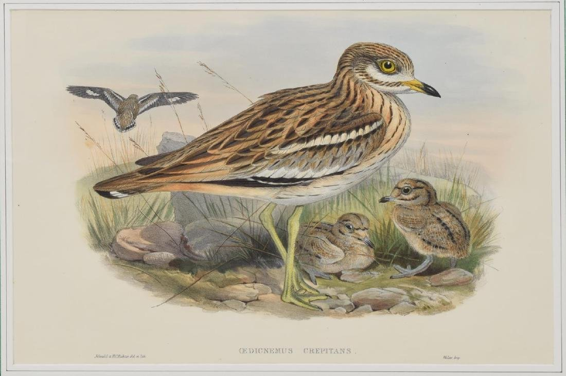 JOHN GOULD 'BIRDS OF GREAT BRITAIN' LITHOGRAPH