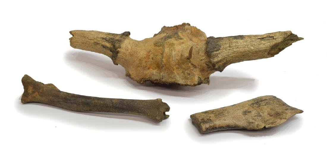 (3) CERVALCES SCOTTI (STAG-MOOSE) FOSSILIZED BONES