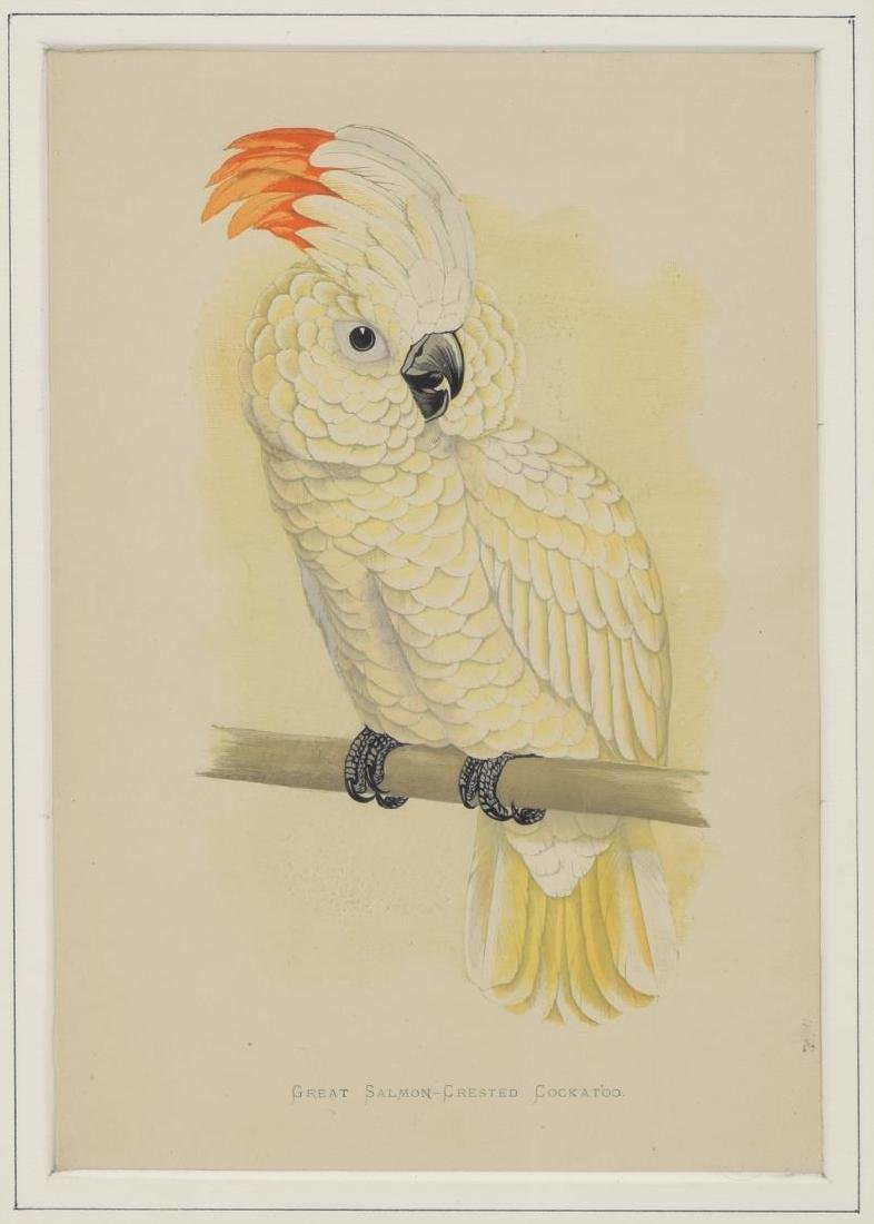 AFTER EDWARD LEAR (D.1888) COCKATOO LITHOGRAPH