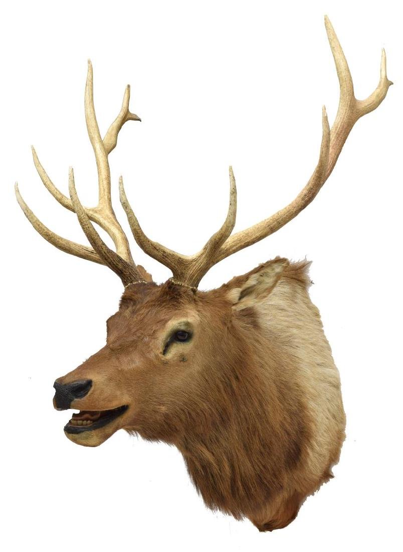 ELK TAXIDERMY MOUNT, 12 POINTS
