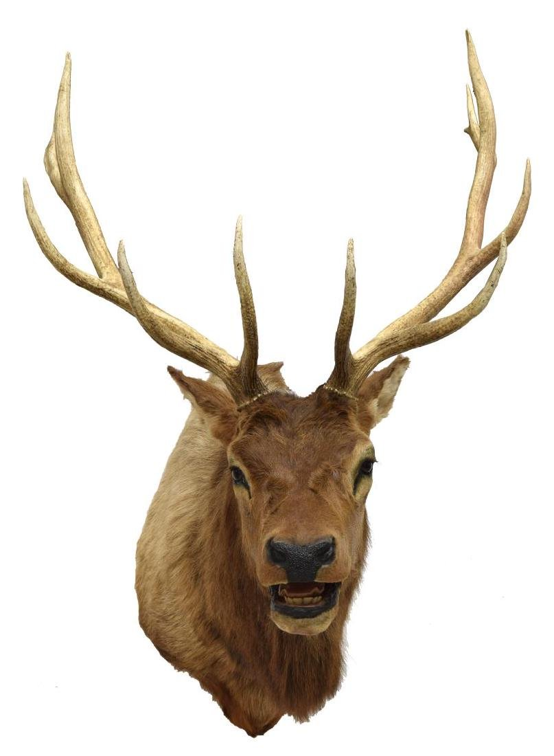 ELK TAXIDERMY MOUNT, 12 POINTS - 2