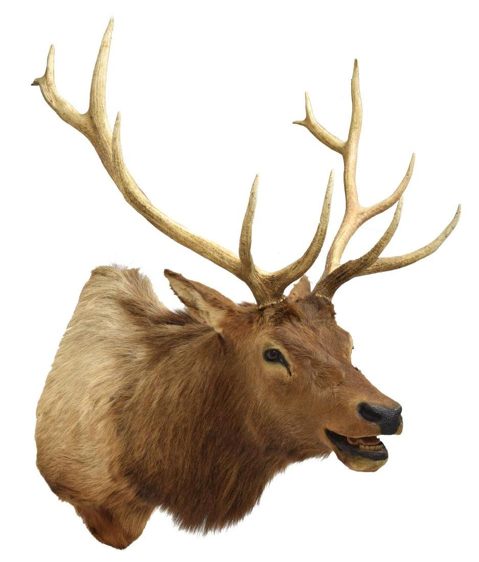 ELK TAXIDERMY MOUNT, 12 POINTS - 3