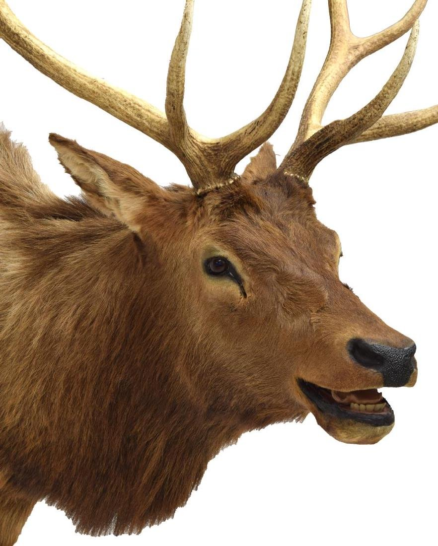 ELK TAXIDERMY MOUNT, 12 POINTS - 4