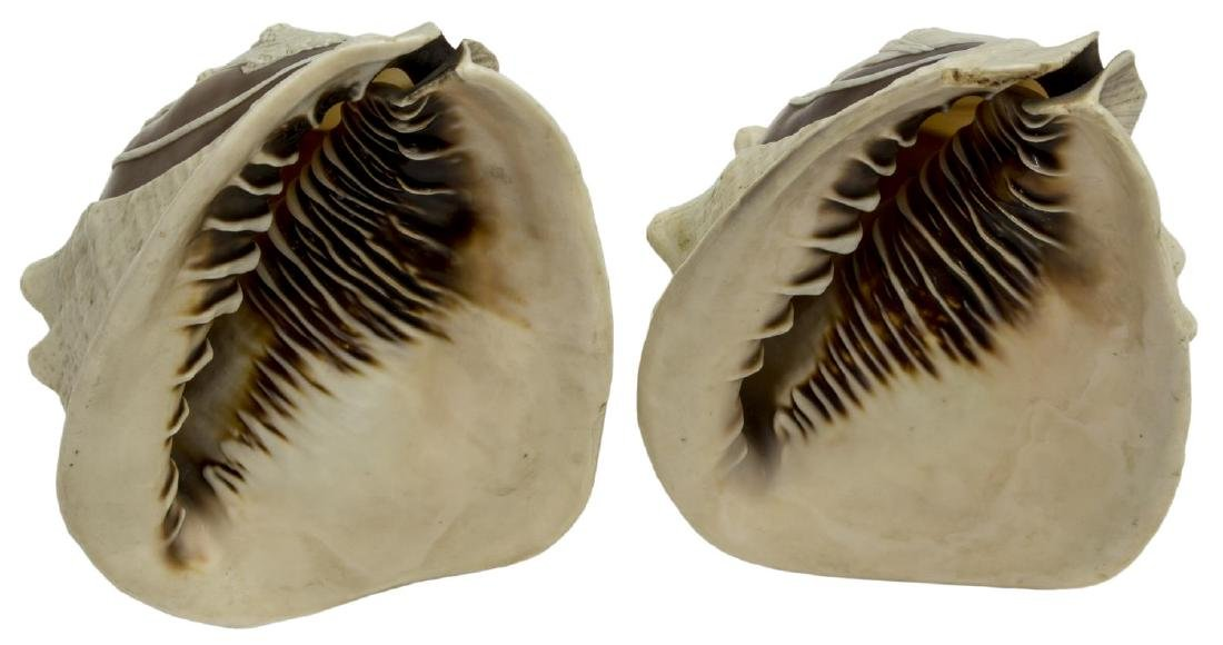 (2) CAMEO CUT CONCH SHELLS, BEAUTIES IN PROFILE - 4