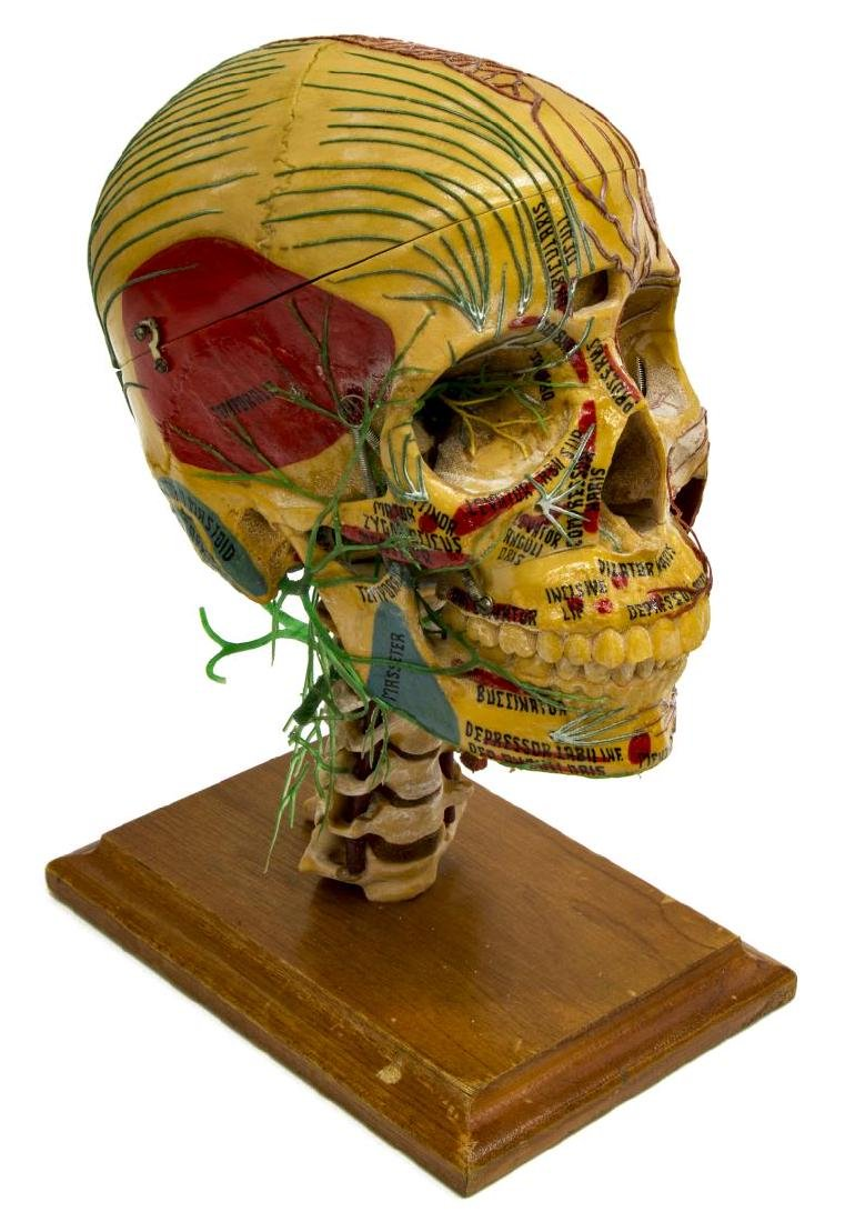 MEDICAL PLASTICS LAB DEMO SKULL W/ NERVES & VEINS