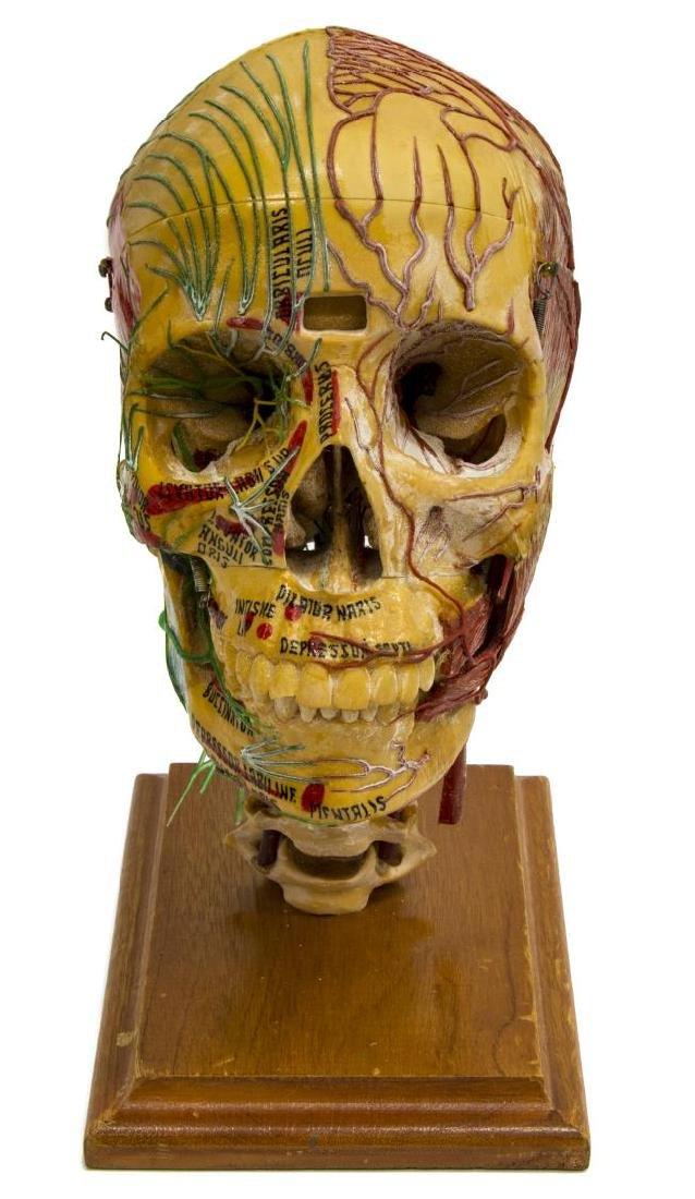 MEDICAL PLASTICS LAB DEMO SKULL W/ NERVES & VEINS - 2