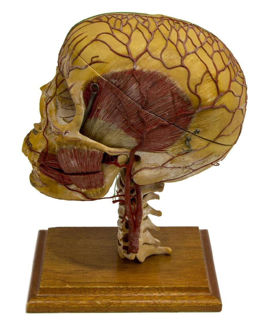 MEDICAL PLASTICS LAB DEMO SKULL W/ NERVES & VEINS - 3