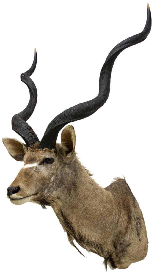 AFRICAN GREATER KUDU TAXIDERMY TROPHY MOUNT
