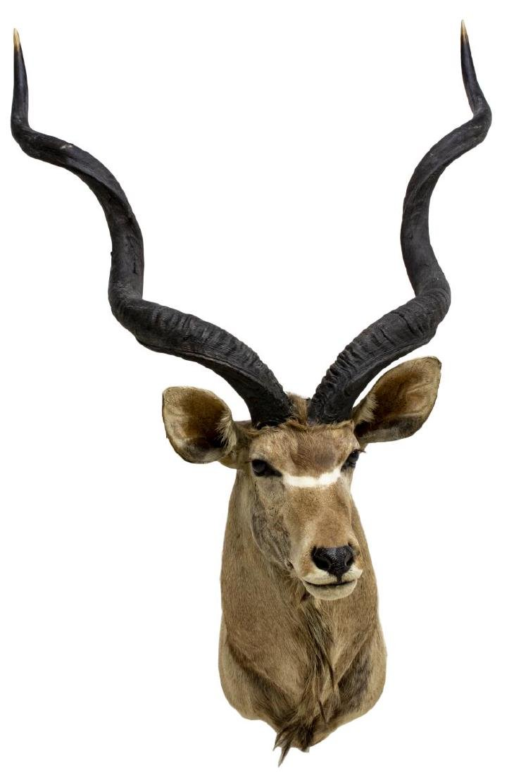 AFRICAN GREATER KUDU TAXIDERMY TROPHY MOUNT - 2