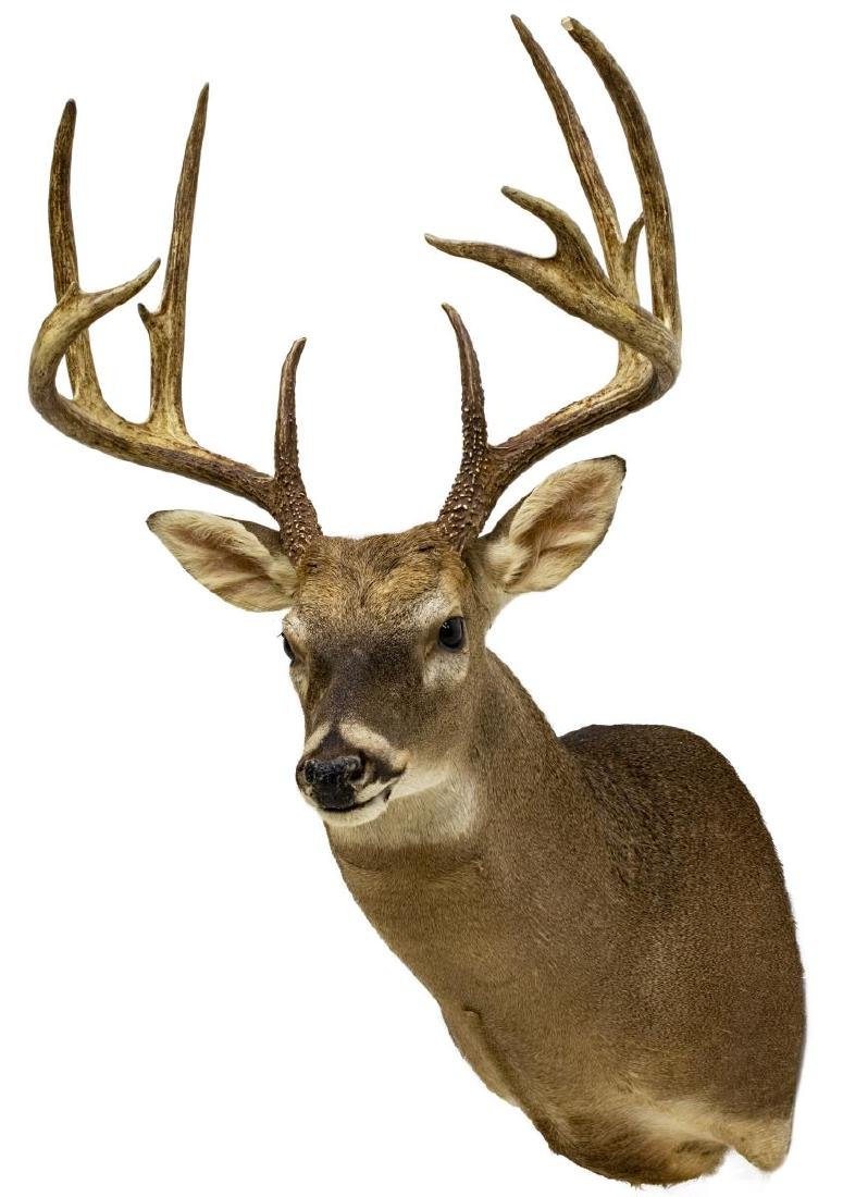 WHITETAIL DEER TAXIDERMY TROPHY SHOULDER MOUNT