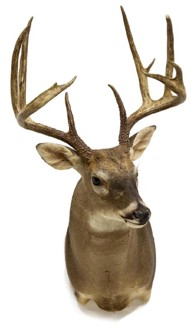 WHITETAIL DEER TAXIDERMY TROPHY SHOULDER MOUNT - 2