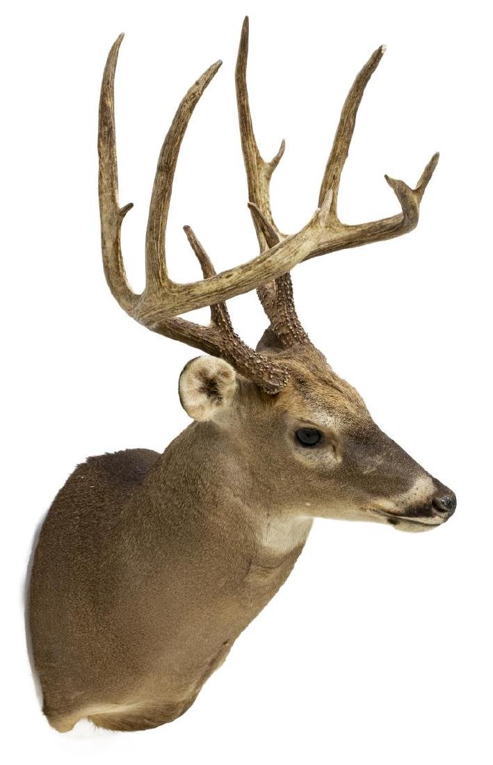 WHITETAIL DEER TAXIDERMY TROPHY SHOULDER MOUNT - 3